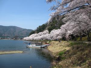 花見 海津大崎の桜