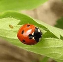 てんとう虫